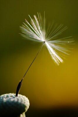 Картина белый цветение одуванчика на зеленом фоне, подробно и макросъемки одуванчика семян