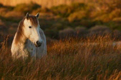 Картина Белый конь Камарг