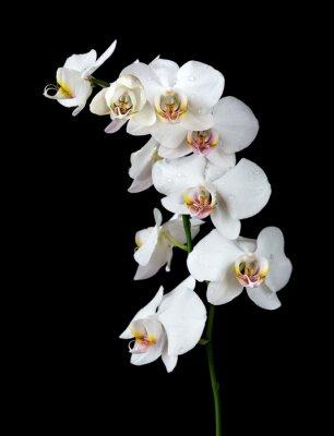 Картина Белая орхидея на черном фоне