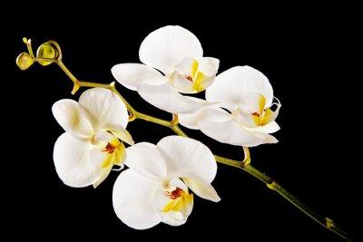 Картина Белая орхидея с желтым центром