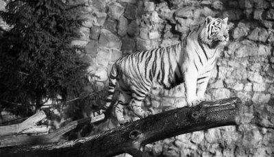 Картина Белый тигр стоял на бревне над щелью (в черно-белом, винтажный стиль)