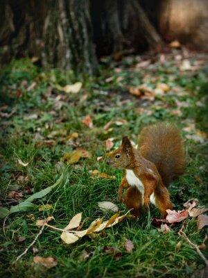 Картина wiewiórka