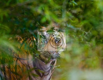 Картина Дикий Бенгальский тигр смотрит из кустов в джунглях. Индия. Национальный парк Бандхавгарх. Мадхья-Прадеш. Отличной иллюстрацией.