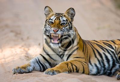 Картина Дикий Бенгальский тигр лежал на дороге в джунглях. Индия. Национальный парк Бандхавгарх. Мадхья-Прадеш. Отличной иллюстрацией.