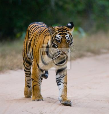 Картина Дикий Бенгальский тигр стоял на дороге в джунглях. Индия. Национальный парк Бандхавгарх. Мадхья-Прадеш. Отличной иллюстрацией.