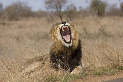 Картина wild male lion yawning in the bush