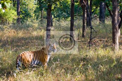 Картина Дикий тигр в джунглях. Индия. Национальный парк Бандхавгарх. Мадхья-Прадеш. Отличной иллюстрацией.