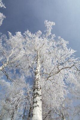 Картина Зимний лес березы