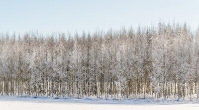 Картина Wintry березы в Финляндии