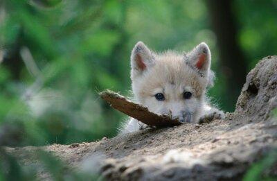 Картина Волчонок