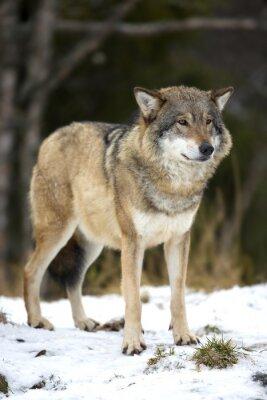 Картина Волк стоял в холодный зимний лес