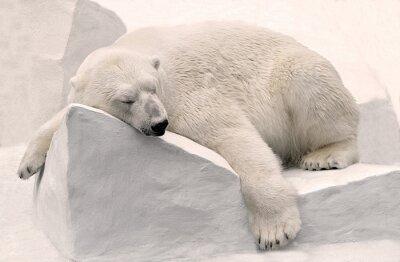 Картина Белый медведь спит.