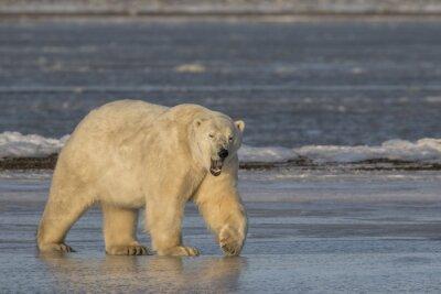 Картина Зияющие Полярный медведь ходить по льду