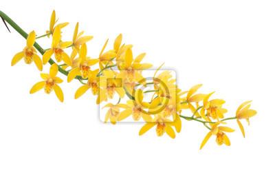 Желтый Dendrobium Орхидея на белом фоне