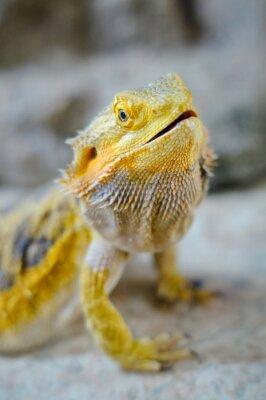 Картина Yelow бородатого дракона
