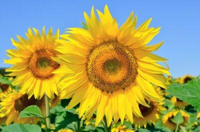 Картина Молодые подсолнухи цветут в поле на фоне голубого неба