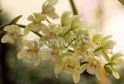 Фотообои Красивая орхидея в Таиланде