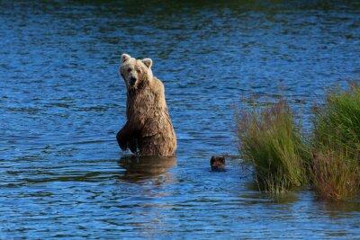 Фотообои Мать бурый медведь смотрит назад, чтобы проверить на своих детёнышей во время пересечения реки Брукс, Национальный парк Katmai, Аляска