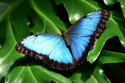 Фотообои Довольно синий морфо бабочки земли в бабочке сады.