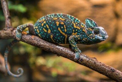 Фотообои Замаскированная хамелеон ящерица