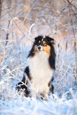Фотообои очаровательны шелти собака зимний портрет