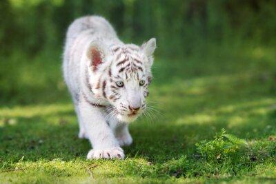 Фотообои очаровательны белый тигренок ходить на траве