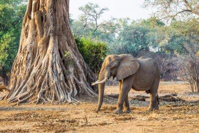 Фотообои Африканский слон (Loxodonta), проходя мимо большого дерева
