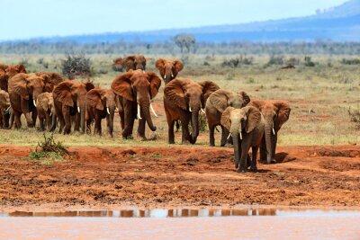 Фотообои Африканские слоны в саванне