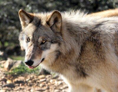 Фотообои Аляскинский Серый Волк Портрет