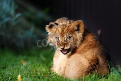 Фотообои Оповещение маленького львенка с коричневым мехом в переулке