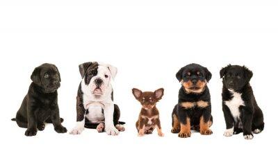 Фотообои Все виды мило другой породы щенка Собаки, изолированных на белом фоне, как чихуахуа, ротвейлера, бордер колли, лабрадор и английский бульдог