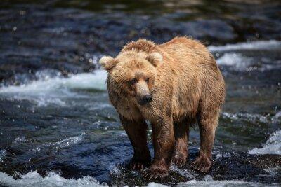 Фотообои Аляскинский коричневый ищет лосося в канавках реки Брукс.