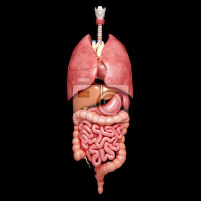 Picture internal organs human body