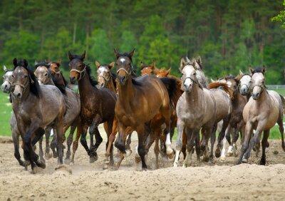 Фотообои Арабские лошади галопом