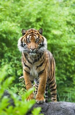 Фотообои Азиатско- или бенгальского тигра, стоя с бамбуковых кустарников в фоновом режиме