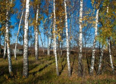 Фотообои Осенний пейзаж с березками