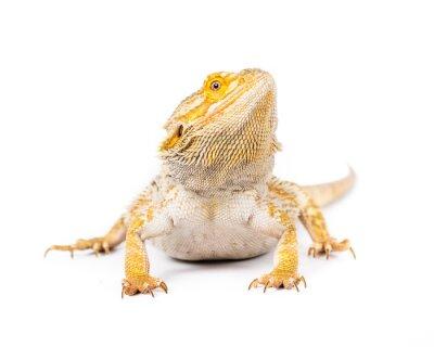 Фотообои Бородатый дракон