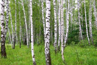 Фотообои Красивая береза летнем лесу