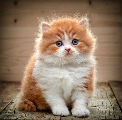 Фотообои красивые длинные волосы британец котенок