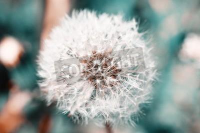 Фотообои Красивая одуванчика с семенами, крупным планом
