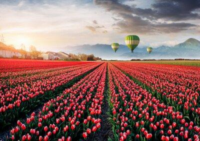 Фотообои Красивое поле из красных тюльпанов в Голландии. Воздушные шары в фоновом режиме. Фантастическое весеннее событие