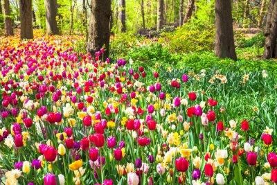 Фотообои красивый сад с цветущими яркие тюльпаны в Keukenhof парке, Голландия