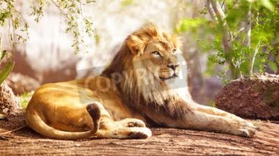 Фотообои Красивый большой африканский лев, устанавливающий с деревьями в фоновом режиме