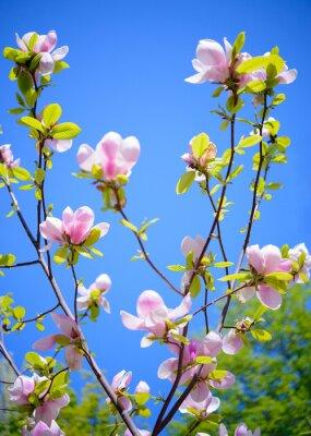 Фотообои Красивые розовые цветы магнолии на фоне голубого неба. Весна цветочные изображения