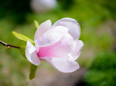 Фотообои Красивые розовые цветы магнолии на зеленом фоне. Весна цветочные изображения