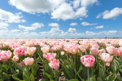 Фотообои красивый розовый тюльпан поле в солнечный день