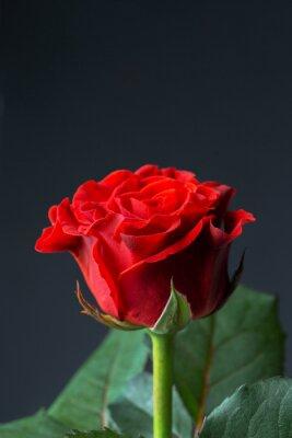 Фотообои Красивая красная роза
