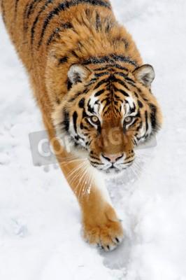 Фотообои Красивый дикий амурский тигр на снегу