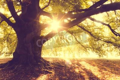 Фотообои Бук Дерево в утреннем свете