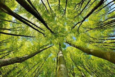 Фотообои Буковый лес в начале весны, снизу, свежие зеленые листья